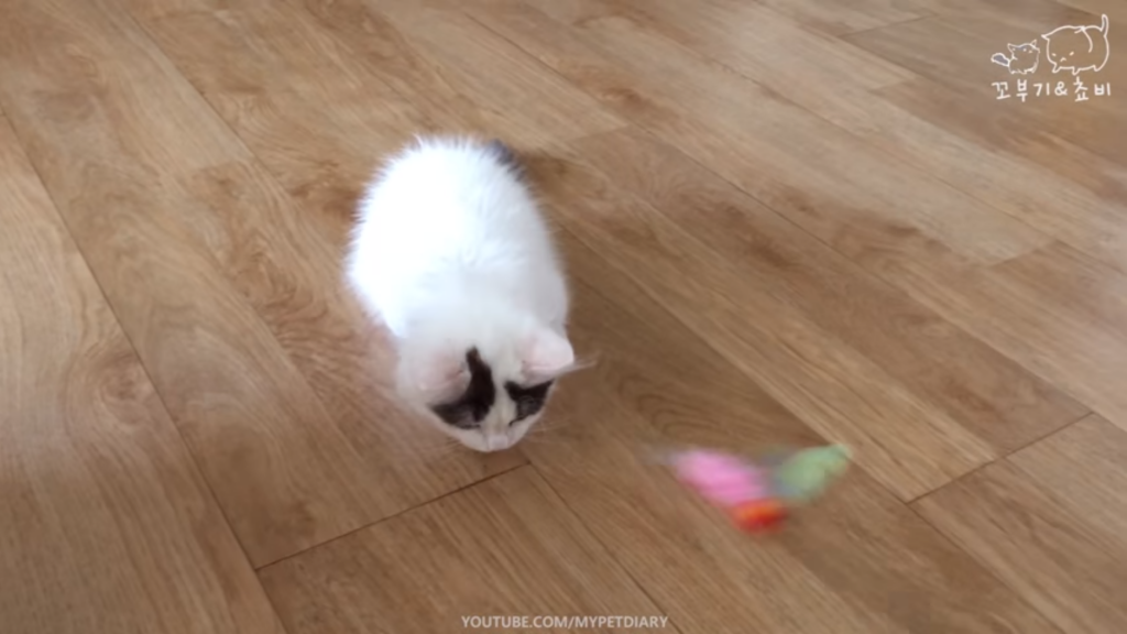 Playful Munchkin Kitten Might Be the Cutest Ever