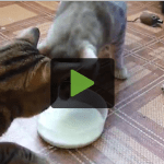 Seriously Funny Tug of War Over Bowl of Milk