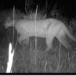 Rare Female Panther Sighting Hailed by Conservationists