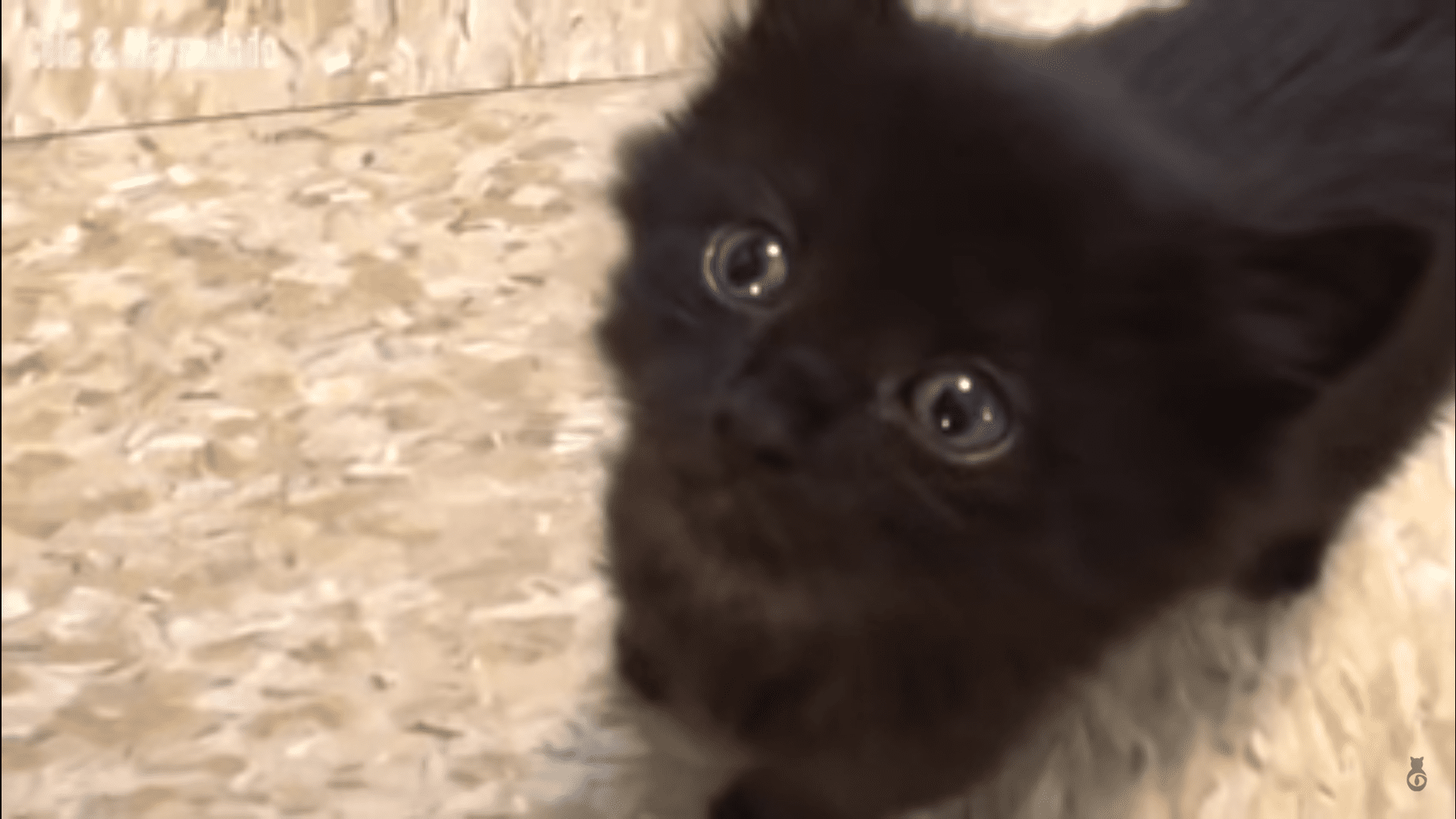 Funny Cats and Kittens Meowing pilation