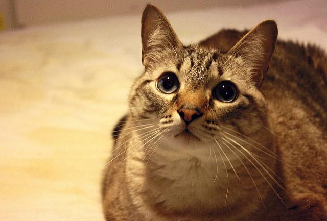 Cat Adoption Roseville California