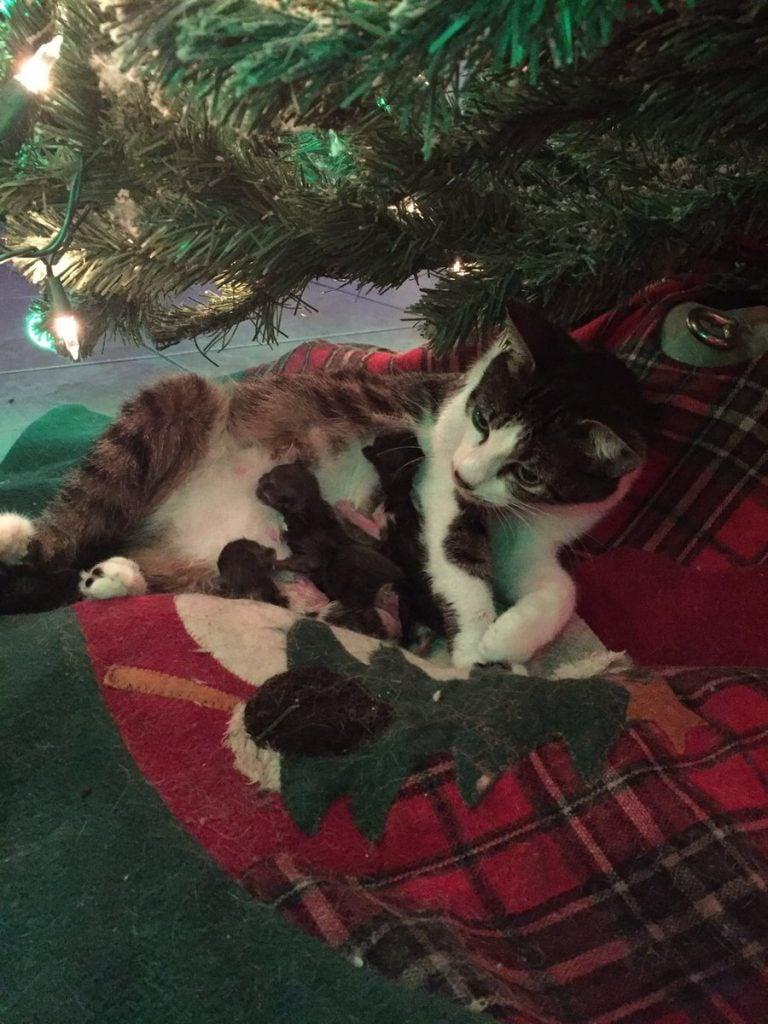 Rescue Cat Gives Birth Underneath Christmas Tree