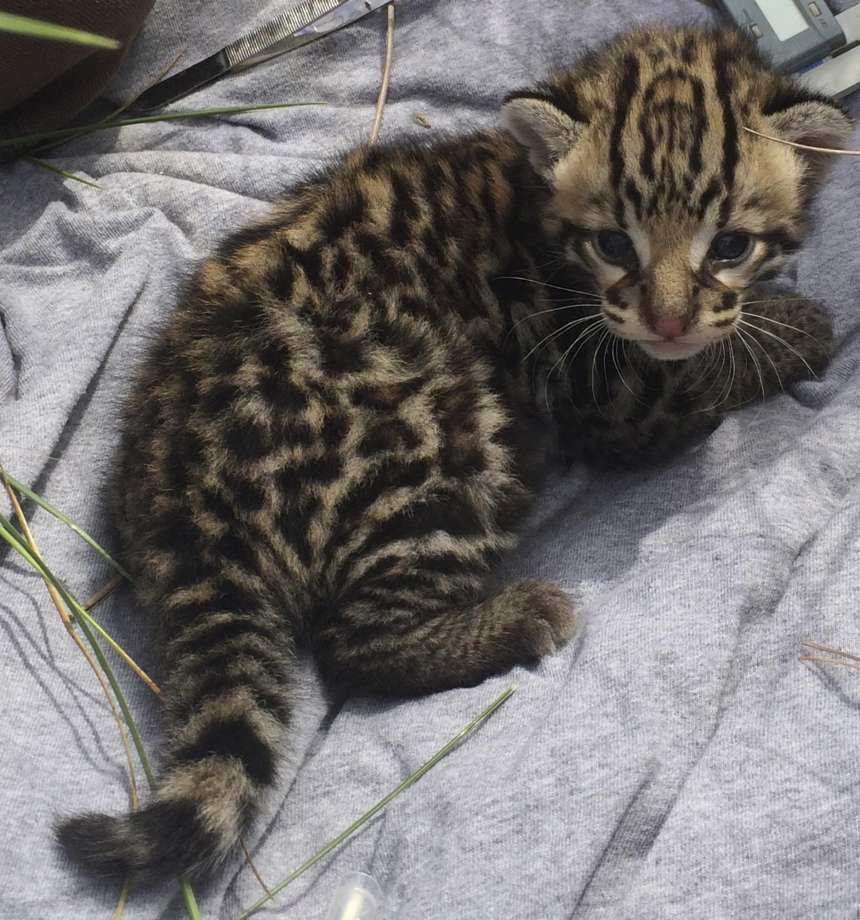 Conservationists Excited By Discovery of 4 Ocelot Kittens