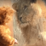 """Look on Lion's Face When He Sees """"Cub"""" is Priceless"""