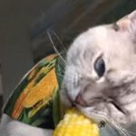 Cat Loves to Eat Corn Right Off the Cob