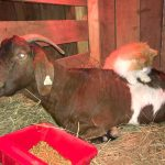 Cat Acts as Midwife for Pregnant Goat