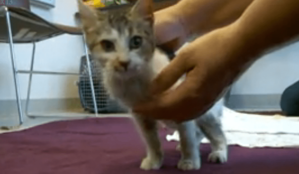 Kitten Frozen To Blanket Revived by Humane Society
