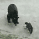 Forget Dogs This Cat Challenges Bears