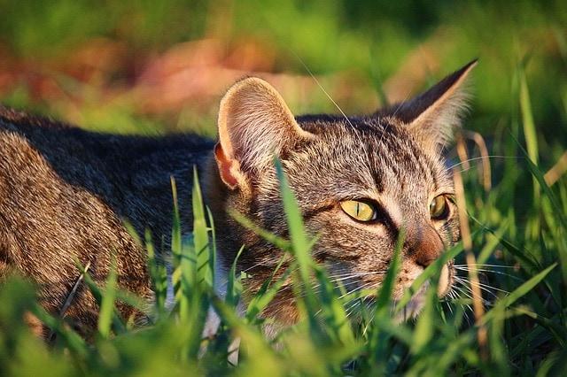 Australia Has a Major Feral Cat Problem