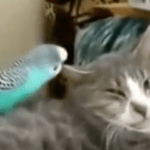 Cat Pestered By Parakeet