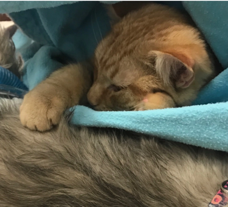 Therapy Cat Beloved for Bedside Manner