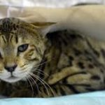 Beautiful Rare African Cat Found Roaming New Jersey