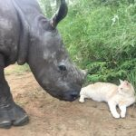Cat Forms Special Bond With Baby Rhino