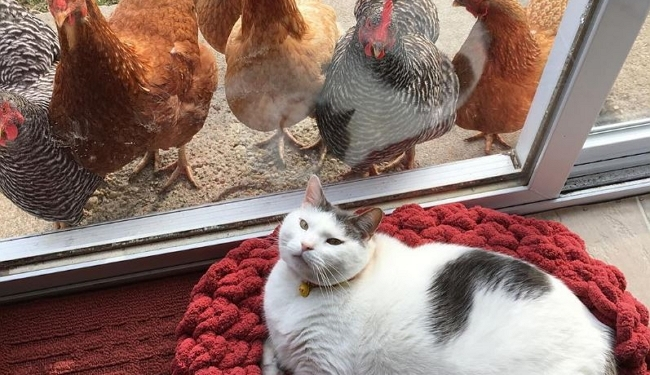 What Came First the Cat or the Chickens Gawking at the Cat?