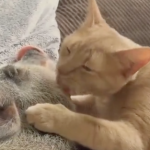 Cat Covers Pig in Kisses