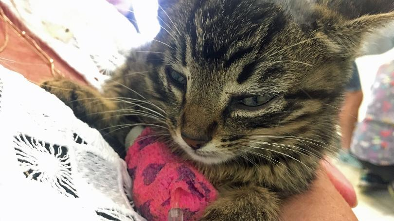 Fluffy-the-miracle-kitten-thrown-from-car-05.24.17