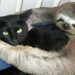Cats Loved Up By Sloth