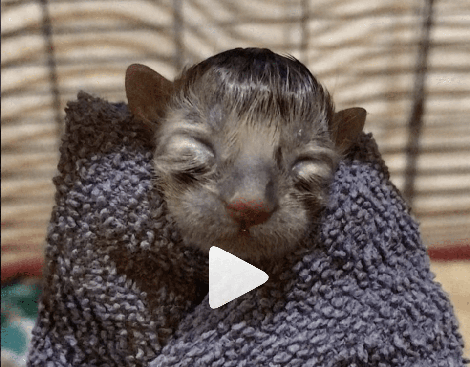Three-hour-old Kitten Can Squeak Just Fine