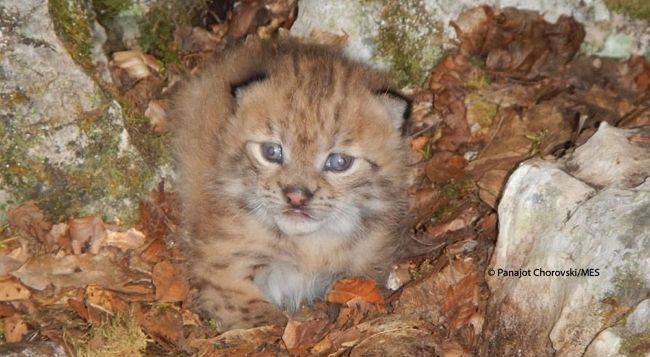 First Time in Decade: Rare Balkan Lynx Kitten Photographed