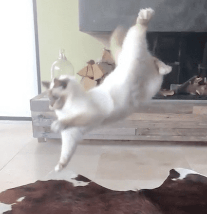 Cat Wants to Catch Toy and Catches Some Air Instead