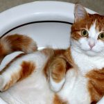 To Potty Train or Not to Potty Train the Cat: A Dream Come True or Nightmare in the Making?