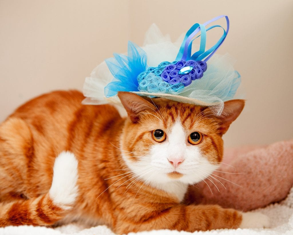 Cats in Fascinators for the Royal Wedding Credit: Best Friends Animal Society
