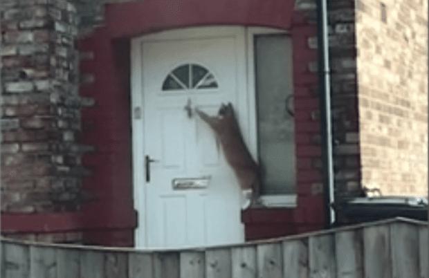 Polite Cat Knocks to be Let Inside