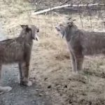 When Lynx Face Off It Doesn't Sound Like as Expected