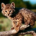 Watch These Adorable Bobcat Kittens & Pretend this is in Your Own Backyard