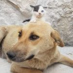 Dog Who Lost Litter Adopts Orphaned Kitten