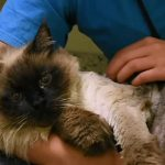 29-Pound Kitty Finds Loving Forever Home