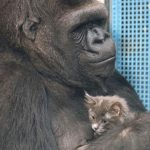 Koko, the Kitten-Loving Gorilla, Passes Away