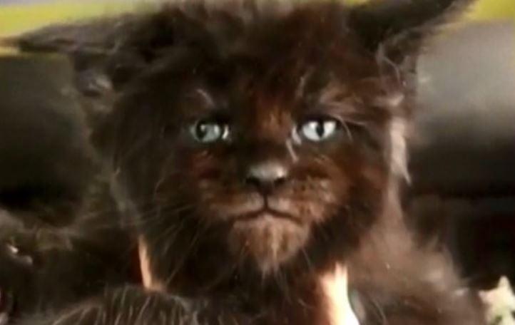 Cat That Looks Like A Kitten Forever